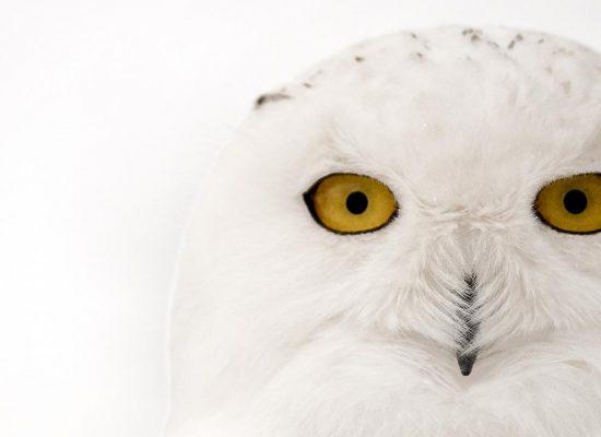 sneeuwuil-vliegt-op-verkeerscamera-canada-af
